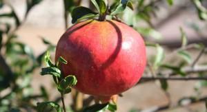 LA_arboretum_Pomegranate