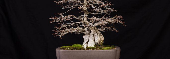 Winter Silhouettes Bonsai The Arboretum